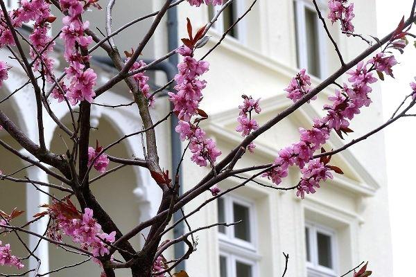 Obstblüten auf Rügen