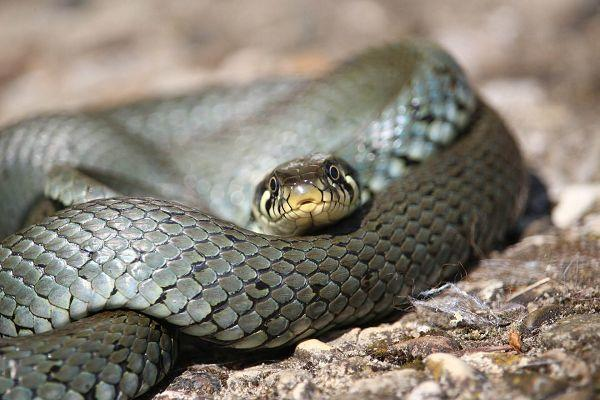 Schlangen auf Rügen