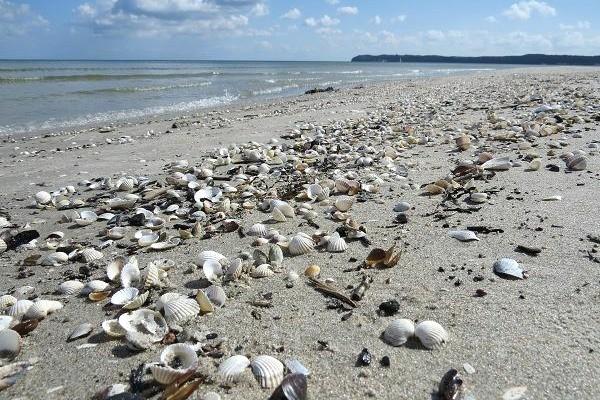 Ein Berg voller Muscheln am Ostseestrand